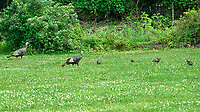 Wild Turkey (Meleagris gallopavo). Image taken with a Nikon D800 camera and 200 mm f/2 VR lens.