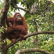 Orangutan (Pongo pygmaeus) Tanjung Puting National Park. Borneo