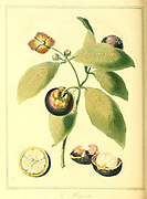 The Mangoostan or Mangosteen (Garcinia mangostana), also known as the purple mangosteen, is a tropical evergreen tree with edible fruit native to tropical lands surrounding the Indian Ocean From the book A voyage to Cochinchina, in the years 1792 and 1793. To which is annexed an account of a journey made in the years 1801 and 1802, to the residence of the chief of the Booshuana nation by Sir John Barrow, 1764-1848 Published in London in 1806 by T. Cadell and W. Davies
