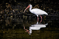 White Ibis. Weedon Island Nature Preserve, Pinellas County, Florida. Image taken with a Nikon D300 camera and 80-400 mm VR lens (ISO 200, 400 mm, f/5.6, 1/500 sec)