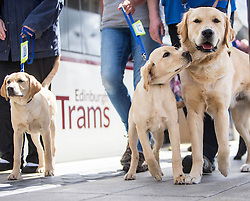 Trainee guide dogs will travel on the trams for the first time to familiarise themselves with the service, arriving at the Edinburgh Airport tram stop.