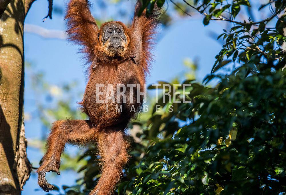 The Sumatran orangutan (Pongo abelii), Leuser Ecosystem, Sumatra, 08th July 2018, Indonesia. The Sumatran orangutan is one of the three species of orangutans. Found only in the north of the Indonesian island of Sumatra, it is rarer than the Bornean orangutan but more common than the recently identified Tapanuli orangutan, also of Sumatra. Photo: Paul Hilton / RAN /OIC