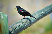Red-Winged Blackbird on a Wooden Fence at Windy Gap Wildlife Viewing Area in Colorado. Image taken with a Nikon D3 and 80-400 mm VR lens (ISO 200, 340 mm, f/8, 1/250 sec).