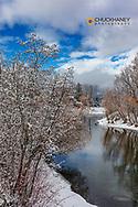 Mallard ducks on the Whitefish River after a sfresh snowfall in Whitefish, Montana, USA