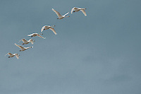 Trumpeter Swans (Cygnus buccinator) fly overhead in formation at Fir Island in the Skagit River delta at Puget Sound, WA, USA