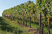 Vineyard. Ugni Blanc. Bordeaux, France