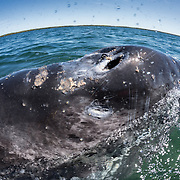 This gray whale calf (Eschrichtius robustus) hosts a population of commensal barnacles (Cryptolepas rhachianecti) and whale lice (Cyamus scammoni) which are amphipods that scavenge for food on the whale's body, including the whale's skin and flesh. There is sexual dimorphism among adult Cyamus scammoni, so the large individuals visible in this photograph are male. The females are smaller. Unlike the young of most other marine crustaceans, which have a planktonic larval stage, juvenile whale lice mature in a pouch-like structure called the marsupium, which is located on the underside of females.