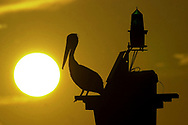 web photo<br /> 4 col color<br /> ***MUST RUN IN COLOR*** If you can't run it in color, please don't use this photo. - KB<br /> <br /> KEVIN BARTRAM/The Daily News<br /> A pelican is silhouetted as it sits atop a channel marker near Pelican Island just before a recent sunset.