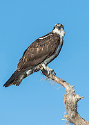An Osprey, Pandion haliaetus, rests on a cypress tree on Blue Cypress Lake, located in Indian River County, Florida, United States.