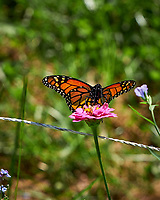 Monarch Butterfly Feeding on a Pink Zinnia Flower. Image taken with a Fuji X-H1 camera and 80 mm f/2.8 OIS macro lens (ISO 200, 80 mm, f/5.6, 1/640 sec).