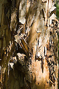 Paperbark Tea-Tree trunk, Mary Creek in the Daintree Rainforest, Australia
