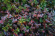 Arandanos en otoño recubiertos por la escarcha, Bal de Chistau, Huesca