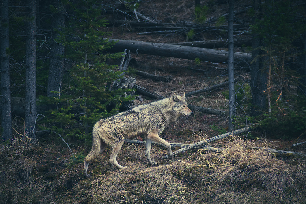 A gray wolf hunts on the shoreline along the Madison River in Yellowstone National Park.