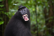 In the jungle, a dominant male Celebes Crested Macaque ( Macaca nigra ) bares his teeth in warning to other males who approach too close, Sulawesi, Indonesia