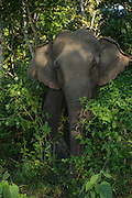 Asian elephant (Elephas maximus) domestic used for park guard patrols<br /> Nameri Wildlife Reserve<br /> Assam<br /> North East India