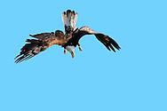 An immature Bald Eagle practices airborne acrobatics.