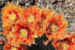 Long-spined Purplish Prickly Pear, Opuntia azurea var. parva