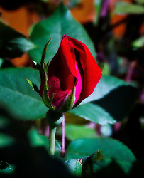 Just a beautiful photograph of a rosebud growing on a rose bush in my backyard.