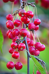 The berries of Malus 'Molten Lava' - Crab apple