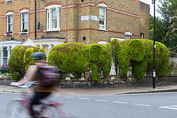 An elephant topiary hedge at the corner of Ambler and Romilly Roads in Finsbury Park, much beloved of local residents, is under threat after it has been claimed that drug users are using the cover of the elephants. The ground floor flat at the address has been boarded up following a police raid and eviction of tenants who, according to neighbours, were using the flat as a drugs den . London, August 12 2019.