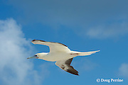 red-footed booby, Sula sula, white colormorph, flying, East Island, French Frigate Shoals, Papahanaumokuakea Marine National Monument, Northwest Hawaiian Islands, Hawaii ( Central Pacific Ocean )