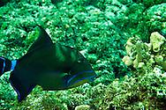Queen Triggerfish, Balistes vetula, Grand Cayman