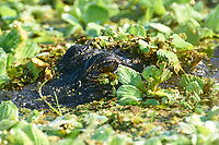 Arthur R Marshall National Wildlife Reserve Loxahatchee Florida USA American Alligator Alligator mississippiensis