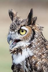 Great horned owl at Raptor Show, Mitchell Lake Audubon Center, San Antonio, Texas, USA.