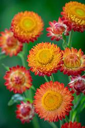 Xerochrysum bracteatum syn. Helichrysum - is this a variant of  Helichrysum bracteatum 'Scarlet' or something different