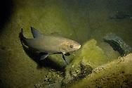 Tench<br /> <br /> Viktor Vrbovsky/Engbretson Underwater Photography
