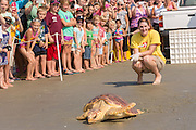 Marine biologists from the South Carolina Aquarium watch Mitchell, a 65-pound juvenile loggerhead sea turtle crawl back to the ocean during the release of rehabilitated sea turtles August 6, 2014 in Isle of Palms, South Carolina. The turtle was found entangled in a fishing line, malnourished and covered in barnacles and rehabilitated by the sea turtle hospital at the South Carolina Aquarium in Charleston.