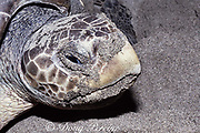 nesting olive ridley sea turtle, Lepidochelys olivacea, <br /> Mexiquillo Beach, Mexico ( Eastern Pacific )