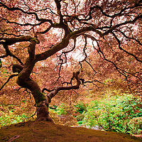 A tree reveals the emergng colors of Fall at the Japanese Gardens in Portland, OR.