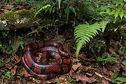 False Coral Snake (Lampropeltis sp.)<br /> Western<br /> ECUADOR<br /> Vivarium ID # 3021<br /> Captive