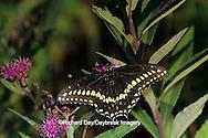 03009-00617 Black Swallowtail (Papilio polyxenes) male on Common Ironweed (Vernonia fasciculata) 12-mile Prairie, Marion Co. IL