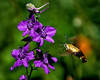 Clearwing Hummingbird Moth approaching purple delphiniium flowers. Backyard summer nature in New Jersey. Image taken with a Fuji X-T2 camera and 100-400 mm OIS telephoto zoom lens (ISO 200, 400 mm, f/5.6, 1/800 sec).