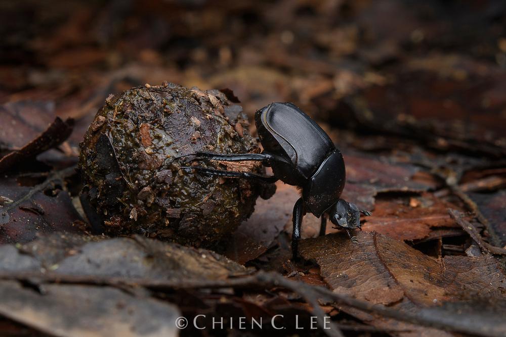 Dung beetle (Paragymnopleurus maurus), rolling scat of Sambar Deer. Danum Valley, Sabah, Malaysia (Borneo).
