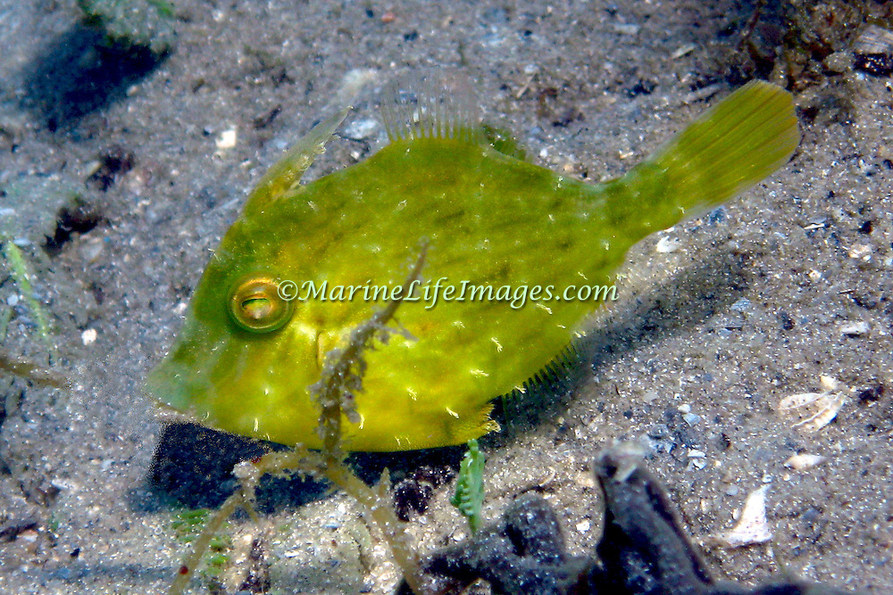 Pygmy Filefish inhabit shallow waters over sand, rubble, seagrass and soft bottoms in Tropical West Atlantic; picture taken Blue Heron Bridge, Palm Beach FL.