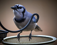 Blue Jayl. Image taken with a Nikon D5 camera and 600 mm f/4 VR telephoto lens (ISO 400, 600 mm, f/4, 1/640 sec).