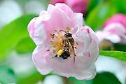 Nederland, Ubbergen, 11-4-2014Bijen bezoeken de bloesem, bloemen, van een fruitboom. kersenboom, kersenbloesem. Foto: Flip Franssen/Hollandse Hoogte