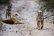 Three Bengal tigers in the wild (Panthera tigris tigris) waking up and starting to walk down a pathway ,Ranthambhore National Park, Rajasthan, India,