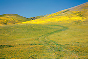 Spring wildflowers cover the hills near Gorman, California