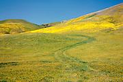 Spring wildflowers cover the hills near Gorman, California