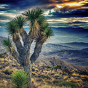 A large joshua tree with a young tree.