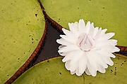 Giant Amazon Water Lily (Victoria amazonica) flower<br />