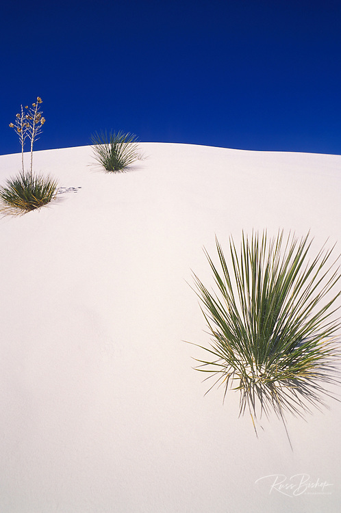Morning light on Yucca and gypsum sand under blue sky, White Sands National Monument, New Mexico