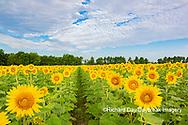 63801-11118 Sunflowers in field Jasper Co.  IL