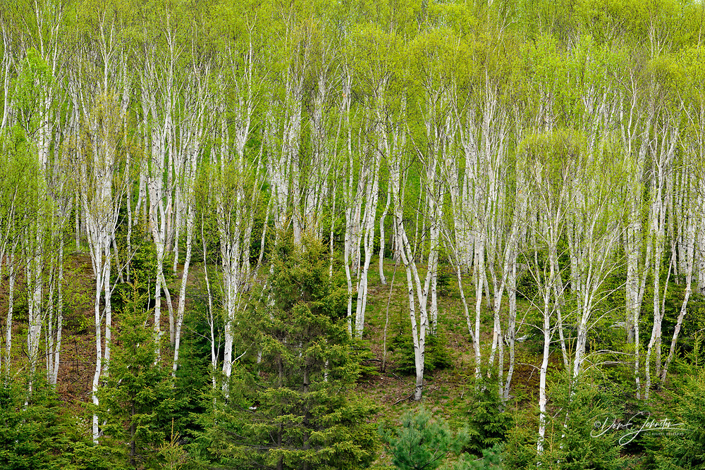 White birch woodland with spruce trees, Greater Sudbury (Lively), Ontario, Canada