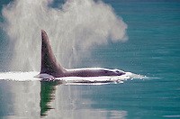 Perfect light and male killer whale, Orcinus orca in Glacier Bay National Park and Preserve, Alaska.