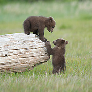 Alaska brown bear cubs playing on a log. Katmai National Park & Preserveblo, Alaska